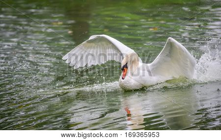 Graceful white Mute swan (Cygnus olor) lands on the water, wings spread, making a wake in morning water in a woodland pond.