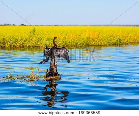 Big Bird wings opened sitting on a tree among water. Chobe National Park on the Zambezi River, Botswana. African cormorant dries its wings. The concept of exotic tourism