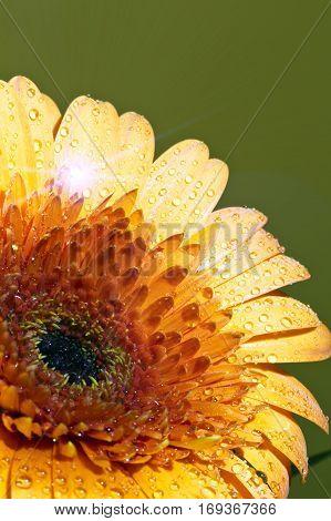 Transvaal daisy flower in rain drops .