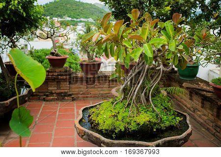 Green rubber plant pipal fig bonsai in the clay pot. Po Nagar, Nha Trang, vietnam. Vivivd horizontal photo