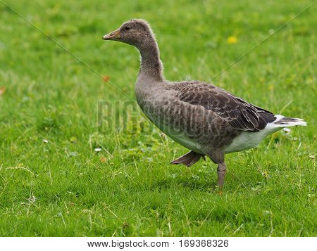 Graylag gosling walking on green grass ( Anser anser )
