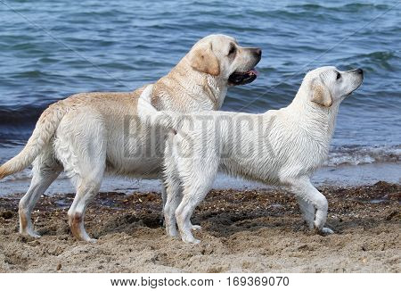 Two Labradors By The Sea
