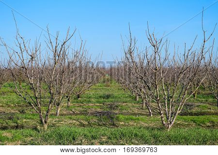 Young plum cherry plum orchard. Growing and Caring for orchard of plum cherry trees.