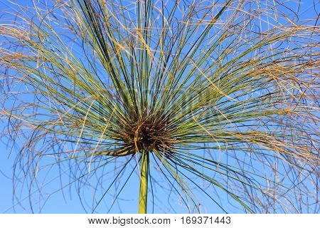 inflorescence of papyrus plant, species of aquatic flowering plant belonging to the sedge family Cyperaceae poster