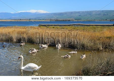 migratory birds in Hula Lake nature reserve, Hula Valley, Israel