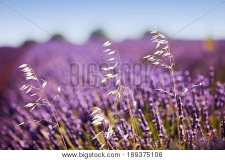 white herbs among the purple lavender flowers