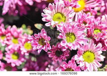 purple Chrysanthemum Morifolium , florist's mun flower