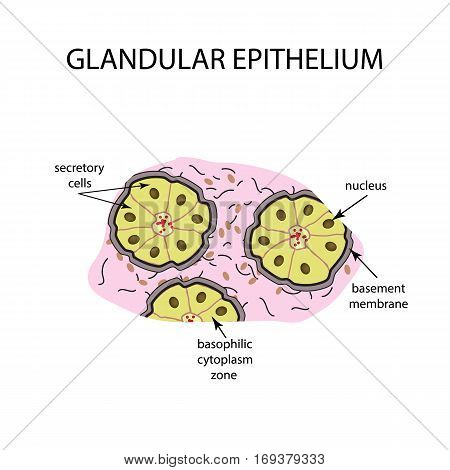 The structure of the glandular epithelium. Infographics Vector illustration on isolated background