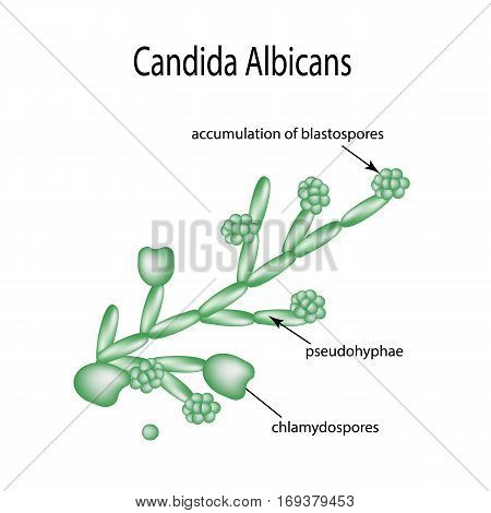 Structure of Candida albicans. Infographics Vector illustration on isolated background