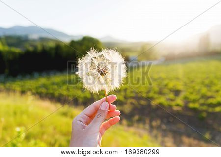 Woman's hand with feather seed of dandelion. Symbol of fragility and lightness.