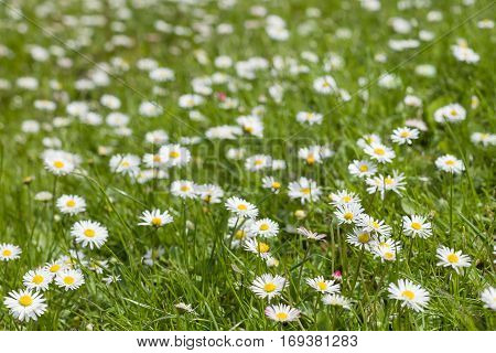 Beautiful blooming daisy field. Spring Easter flowers. Daisy flower background. Summer camomile meadow in the garden.