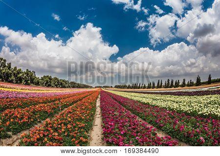 The huge field of garden buttercups growing bright stripes. Spring flowering buttercups. Israeli kibbutz in the south