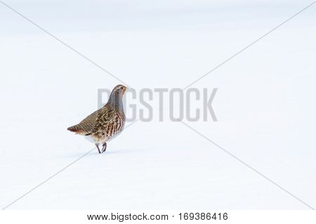 A Lonely Partridge