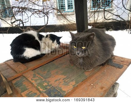 Two warring wary cat at the time of the pre-fight between them