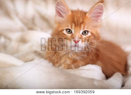 Beautiful Red Solid Maine Coon Kitten Covered In Warm Blanket And Looking Calm The Pretty Eyes. Soft