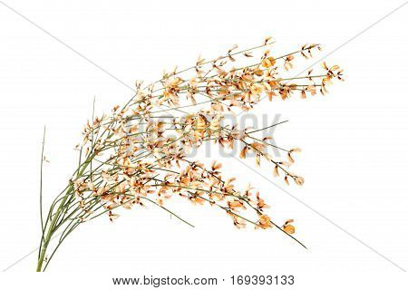 Orange Broom flower isolated on white background poster