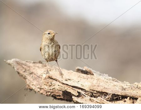 bird Wren sitting on the root of the tree in the spring in the woods