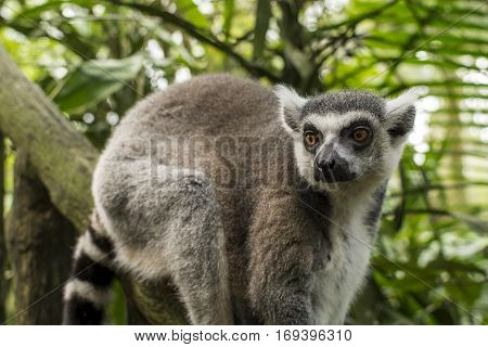 Ring-tailed Lemur, sitting on a branch in a lush forest