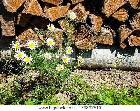 wild wild daisies on a background of wood. Daisy flowers border. Beautiful nature scene with blooming chamomiles in sun flare. Sunny day. Spring flowers. Beautiful scene. Summer background. Springtime