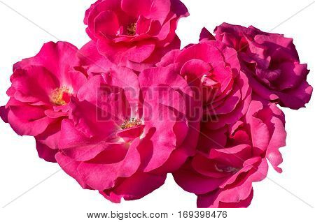 Inflorescences of pink roses isolated on a white background close up
