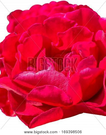 Inflorescence of red rose isolated on a white background close up. Selective focus