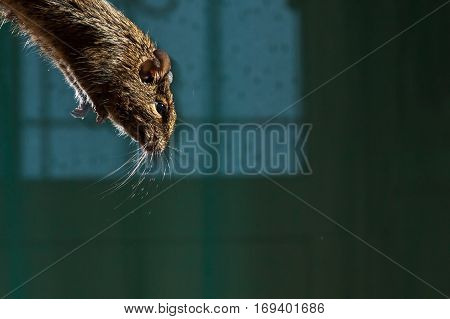 close up, rodent jumps from the table