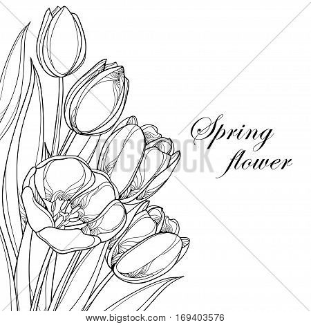 Vector bouquet with outline tulips flowers isolated on white. Ornate floral elements for spring design and coloring book. Corner composition with bunch of tulip flower in contour style.