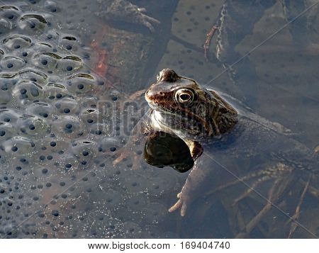 Frog in the water next to spawning