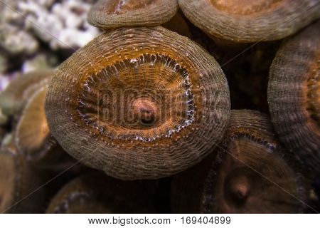 Torch coral - Caulastrea (Candycane coral, Trumpet coral)