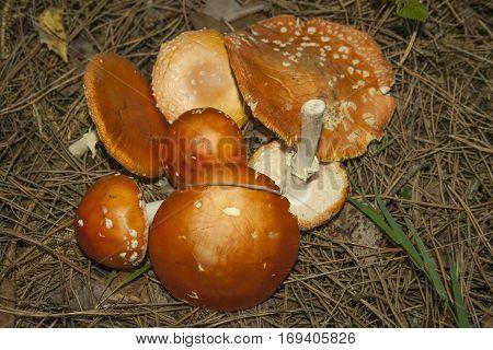 Cut a few mushrooms toadstools on old needles