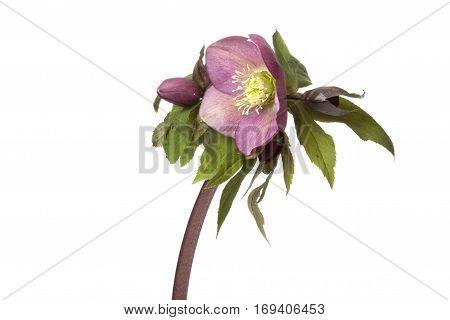 Helleborus niger flower isolated on white background