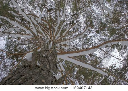 Pine Covered With Snow