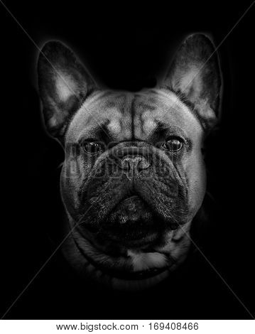 french bulldog portrait over a dark background in monochromatic tones