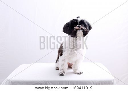 Shih Tzu dog.  A young Black & White Shih Tzu dog on white with room for your text.