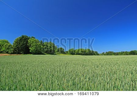 landscape field with immature wheat before blue sky
