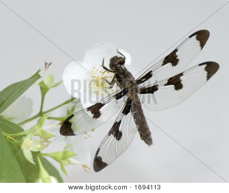 A closeup of a Dragonfly on a flower shot in a white bacground. poster