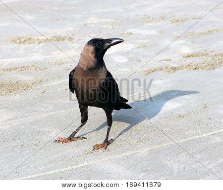 Indian House Crow (Corvus splendens) on the beach of Goa
