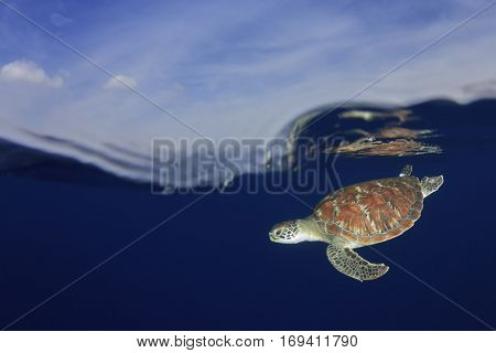 Green Sea Turtle over under half and half