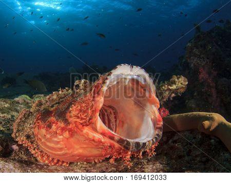 Scorpionfish fish mouth open yawning