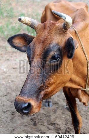Indian brown cow Goa portrait closeup b