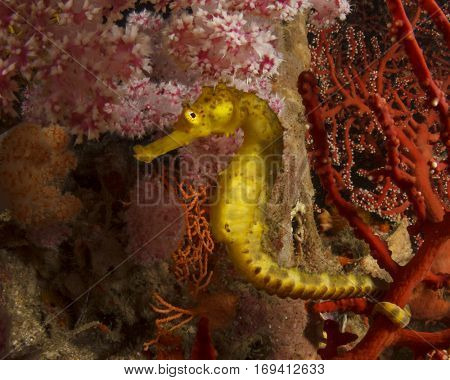 Tigertail Seahorse. Yellow sea horse