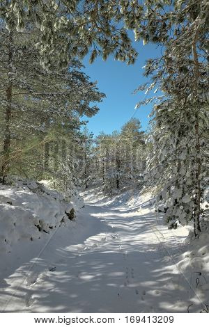 snowy path through winter pine woods in the Etna Park, Sicily