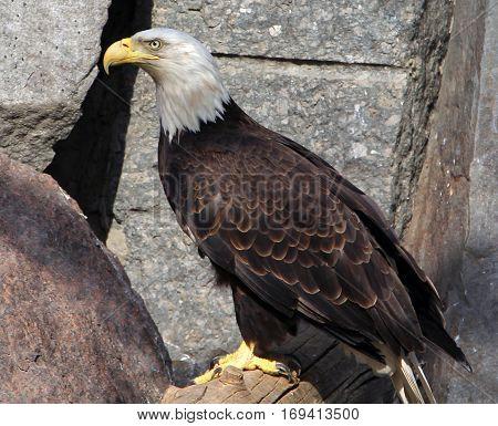 Bald eagle (haliaeetus leucocephalus) in the zoo