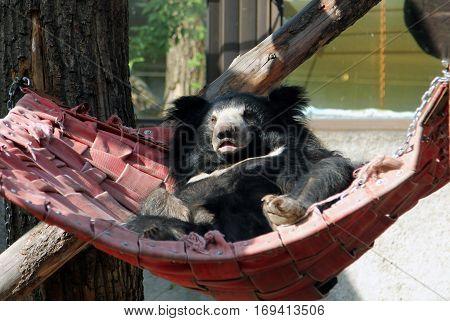 Sloth bear (Melursus ursinus) resting in a hammock
