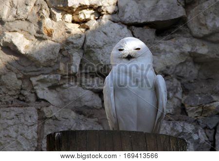 Snowy owl in the zoo vv v