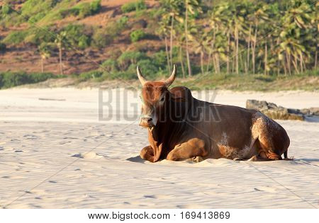Indian brown cow resting on the beach Goa