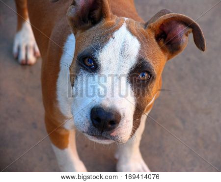 portrait of a young American Staffordshire Terrier looking at the camera