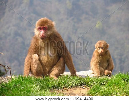 Tibetan macaques (Macaca thibetana) in Emei Mountains Sichuan province China
