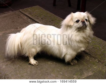 portrait of a snow white Pekingese on the street