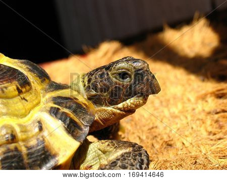 Portrait of a Central Asian tortoise (Agrionemys horsfieldii)